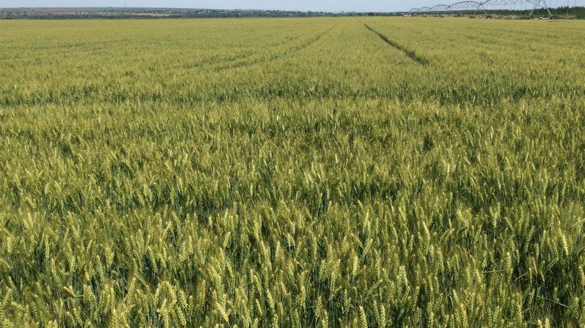 Arsurile solare ale culturilor agricole