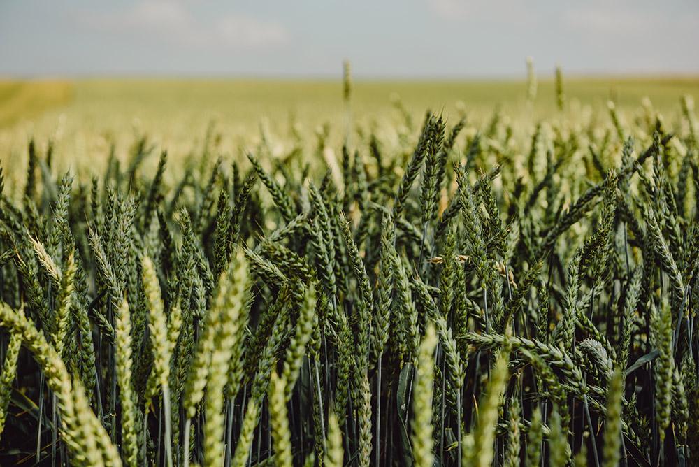 Ferma Gărdoiu – cereale