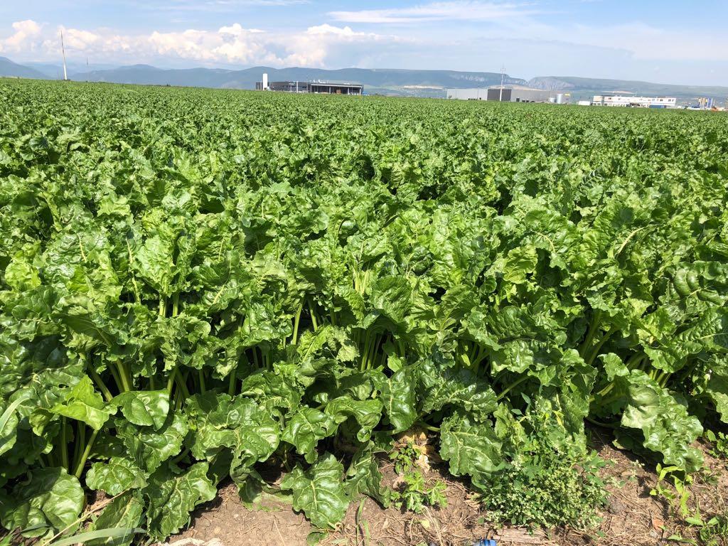 Ferma Agro Turdean – sfecla de zahar