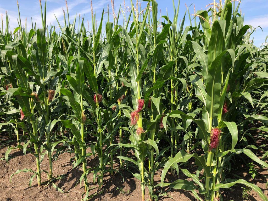 Ferma Agro Turdean – porumb
