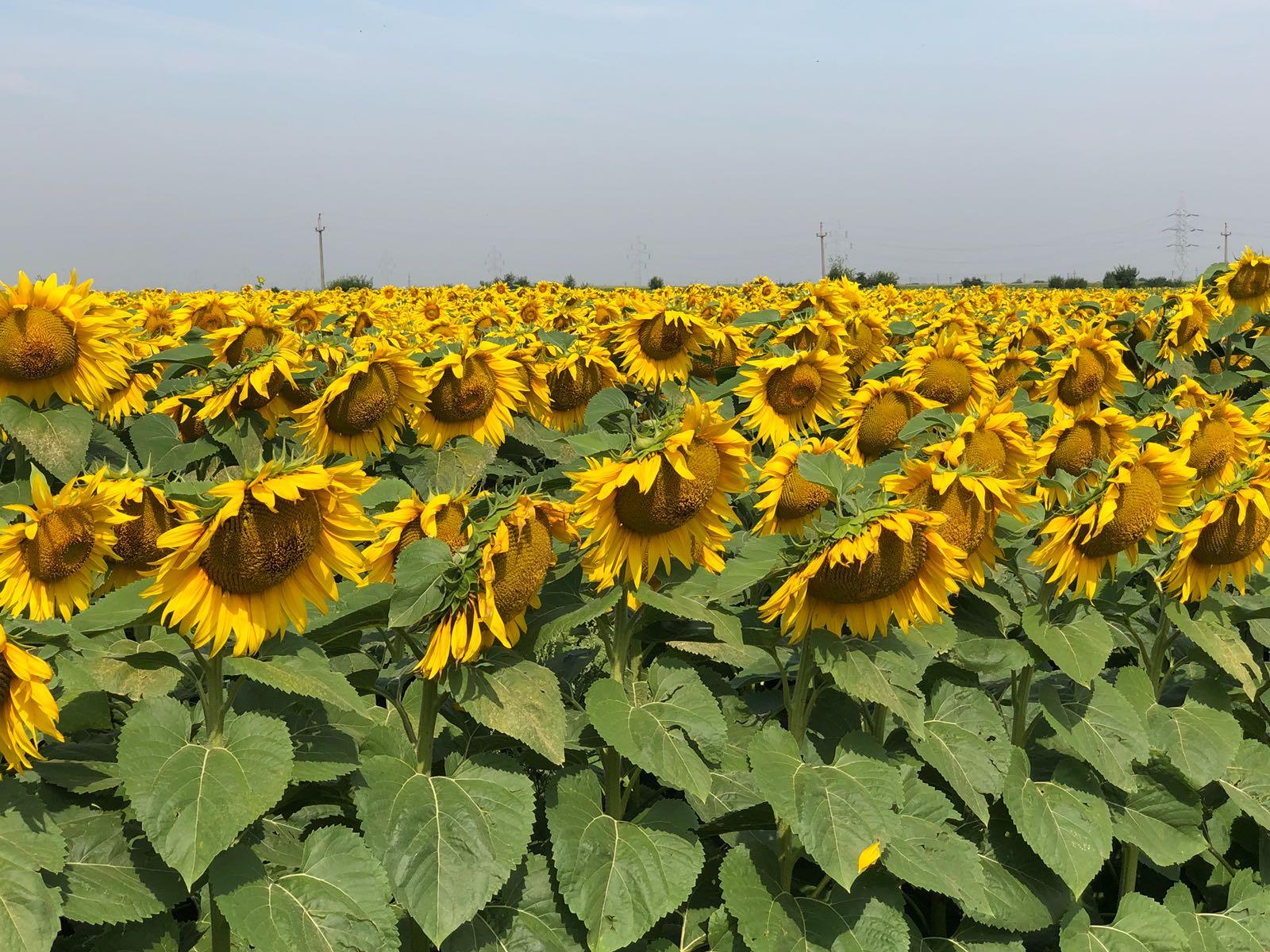 Ferma Dirmond – floarea soarelui
